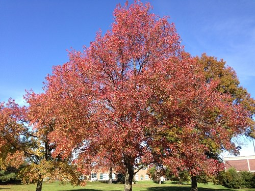 Trees With Red Leaves 62