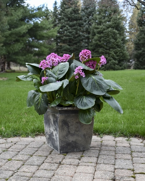 Best Shade-Loving Flowers for Containers 10