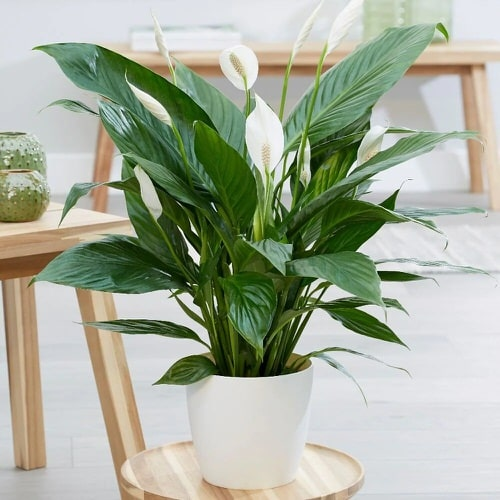 Do Peace Lilies Like to be Root Bound