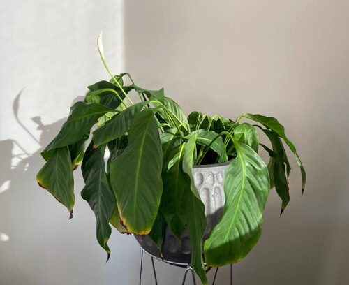 Common Peace Lily Problems 2