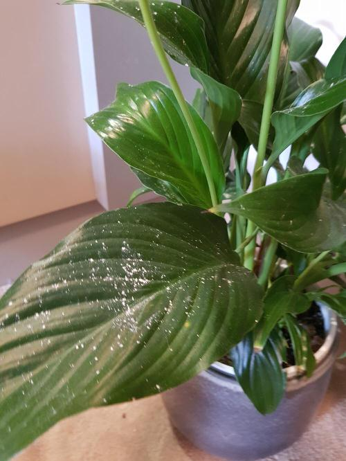 Common Peace Lily Problems 3