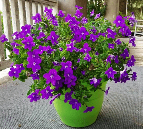 Best Shade-Loving Flowers for Containers 3