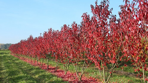 Trees With Red Leaves 7