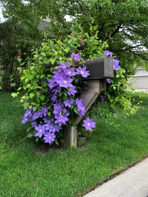 Beautiful Ideas with Clematis in the Garden