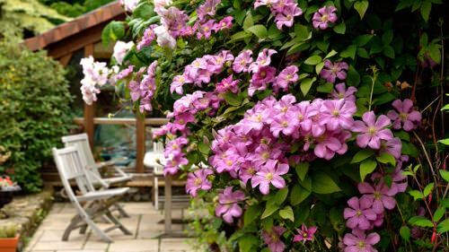 Beautiful Ideas with Clematis in the Garden 8