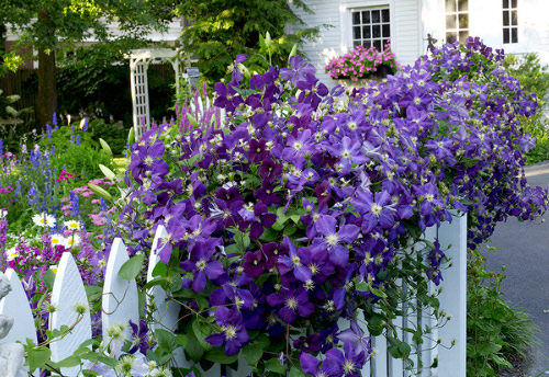 Beautiful Ideas with Clematis in the Garden 9