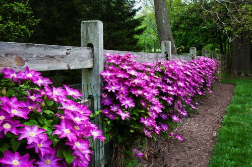 Beautiful Ideas with Clematis in the Garden 2