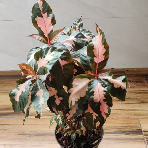 Types of Crotons 19