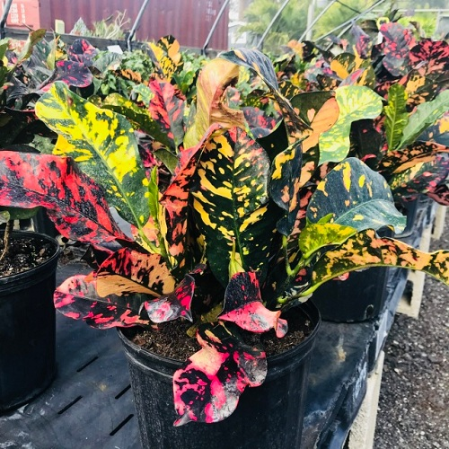 Types of Crotons 16