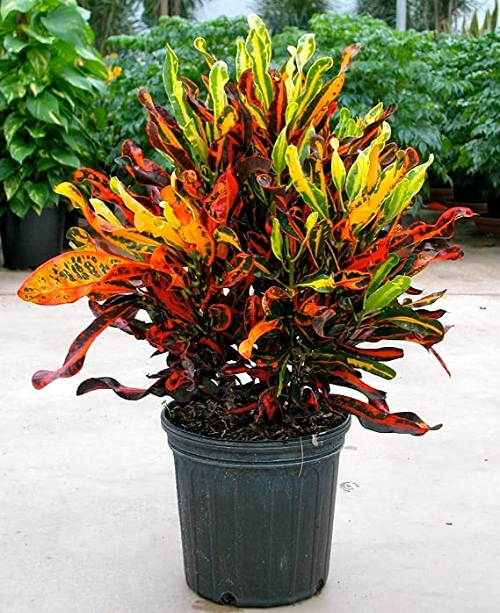 Types of Crotons 8