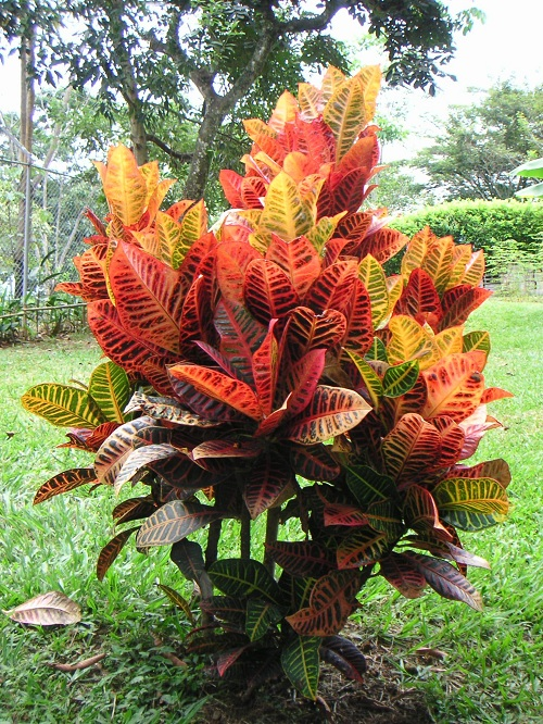 Types of Crotons 3