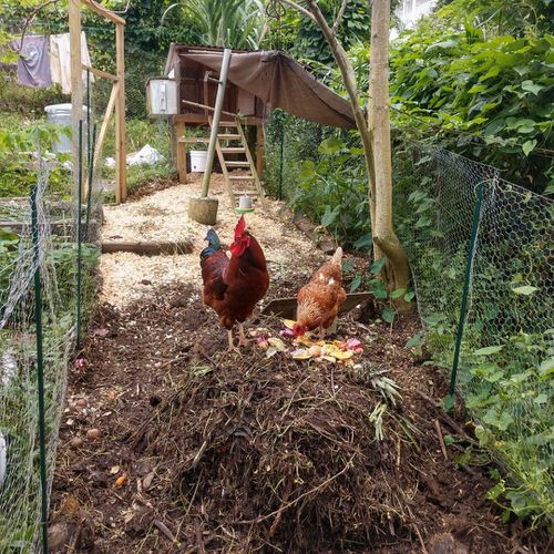 Uses of Chickens in the Garden