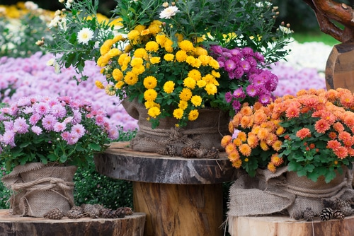 How to Grow Chrysanthemums in Pots 2
