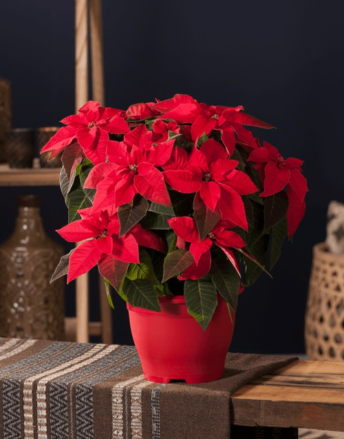 Growing Poinsettias from Cuttings
