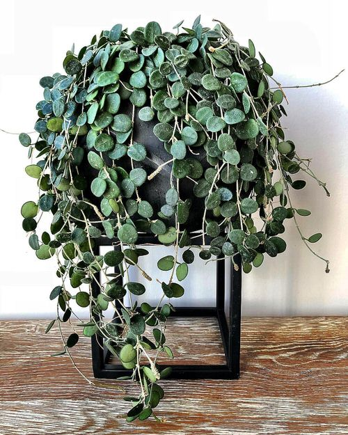 Indoor Plants with Coin-Shaped Leaves 6