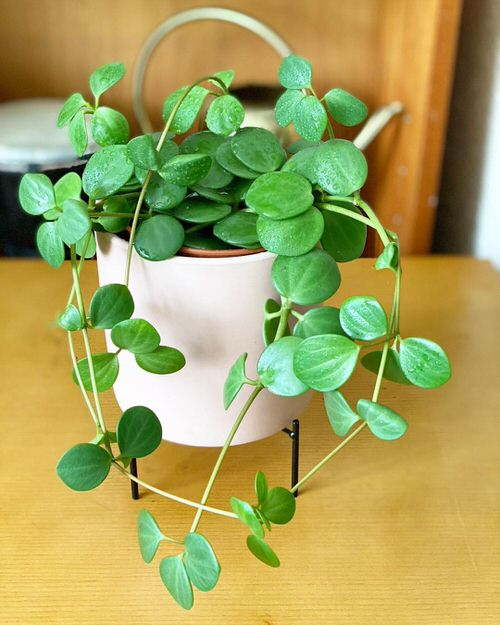 Peperomia Hope Care and Growing Tips 3