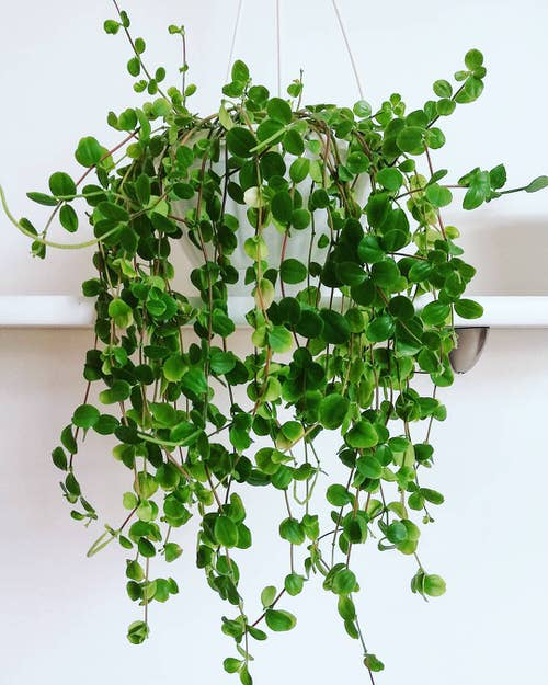 Peperomia Hope Care and Growing Tips