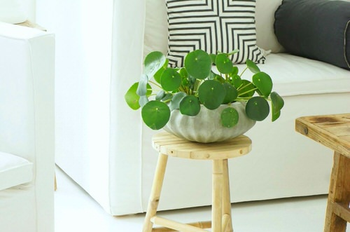 Indoor Plants with Coin-Shaped Leaves