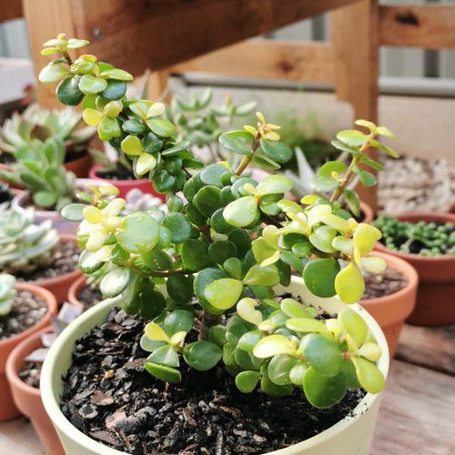 Indoor Plants with Coin-Shaped Leaves 4