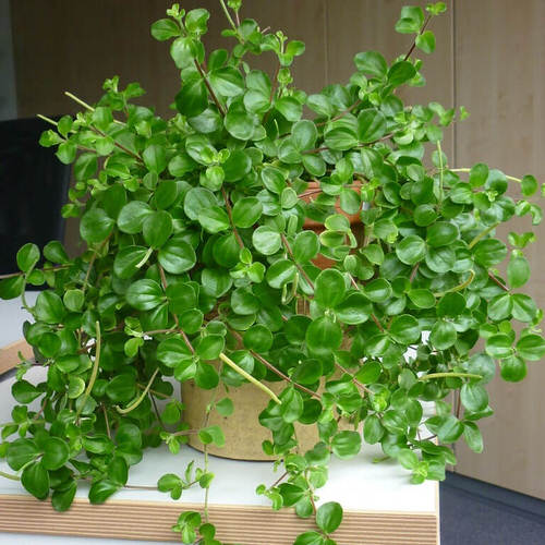 Indoor Plants with Coin-Shaped Leaves 7