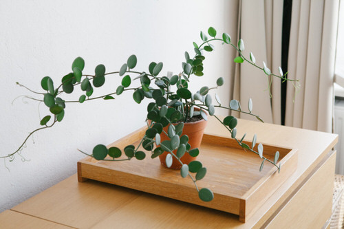 Indoor Plants with Coin-Shaped Leaves 2